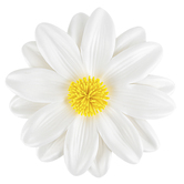 Brother Sister Design Studio, Yellow & White Daisy, 4 Inches