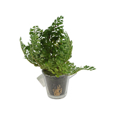 Potted Artificial Maiden Hair Fern Plant, Glass Pot, 2 1/2 inches